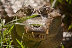 Caiman à lunette dans les herbes.jpg (tschvartz) Tags: reptile marais forêt guyane caimanàlunettes