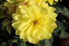 Paul (Whofan70) Tags: dahlia flower yellow