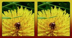 Spotted Ladybird Beetle Love on a Dandelion 1 - Cross-eye 3D (DarkOnus) Tags: love closeup insect lumix stereogram 3d crosseye pennsylvania beetle dandelion ladybird mating spotted coupling stereography buckscounty coleomegillamaculata crossview dmcfz35