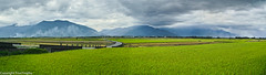 Rice Paddies Pano (tourtrophy) Tags: panorama rice taiwan formosa ricefield paddies foveon sigmadp1merrill