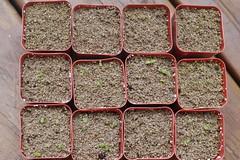 Mesemb seedlings at 1 week