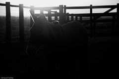 af1407_9877 (Adriana Füchter ... thank you for 4 Million Views) Tags: sunset brazil horses bw horse beauty silhouette brasil rural caballo cheval state farm side country symmetry burro fries jumento cavalos ameland impressed pferde cavalo pferd finest natures equine fazenda chevaux paard paarden sweetface equino galope slott equines friese friesche pferden mywinners friesische professionalequineimages snogeholms