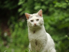 gattobianco (Tu prova ad avere un mondo nel cuore...) Tags: white blanco animals cat tiere kat chat gato animales katze animaux macska gatto  bianco blanc animali koka kedi  maka   weisse