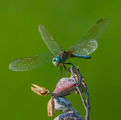 Touch Down (Bonnie Ott) Tags: bluedasher odonate odonata dragonfly flight pachydiplaxlongipennis bonniecoatesott