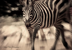 Powerful Beauty (Terezaki ) Tags: africa travel bw beauty animal tanzania photography zoo mono photo blackwhite nikon searchthebest d70 kenya stripes zebra botswana ethiopia powerful pictureperfect naturesfinest ncg equuszebra anawesomeshot flickrdiamond theperfectphotographer natureselegantshots