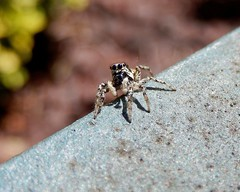 Jumping spider. (DigitalCanvas72) Tags: camera macro nature insect point spider jumping nikon shoot coolpix s9600 nikoncoolpixs9600