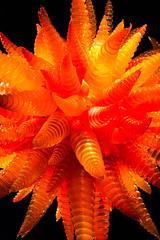 Chihuly Seattle (Buffalo Lucy) Tags: seattle orange chihuly art 50mm dalechihuly glassblowing colorexplosion primelens gardenofglass buffalolucy nikond3100 gardenandglass