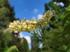 Cvijet bazge (Sambucus), Stari Brod