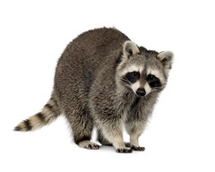 raccoon (9 months) - Procyon lotor in front of a white background (mountainsill) Tags: animal animals fur mammal furry mask domestic coon thief raccoon creature isolated
