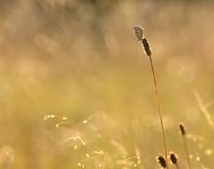 In praise of grasslands ~ III (nick edge) Tags: nature butterfly bokeh wildlife butterflies somerset grassland grasslands brownargus wildflowermeadow ariciaagestis brownargusbutterfly hatchhill