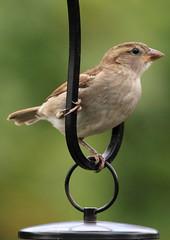 Female House Sparrow - Explored 10/7/14 (warren hanratty) Tags: nature wildlife gloucestershire housesparrow passerdomesticus nailsworth wildbird warrenhanrattyphotography