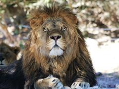 Lwe (Miugrafics) Tags: wildlife tele spanien lwe autosafari