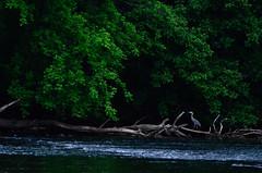 Heron Hunting (Christopher Wallace) Tags: trees bird heron water digital river landscape nikon blueheron newriver fowel waterfowel bissetpark d7000 nikond7000