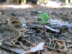 Tree Mortality (NPS Climate Change Response) Tags: fire nps change sequoia climatechange climate warming global globalwarming ccrp