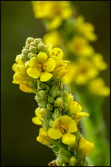 Pure beauty (Carolyn Lehrke) Tags: usa yellow weeds flora nikon bokeh awesome blossoms wv wildflowers commonmullein d3200 greenbriercounty ronceverte