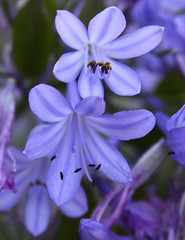 Lily of the Nile (Life_After_Death - Shannon Day) Tags: life africa flowers blue flower detail macro art up closeup canon garden botanical photography eos death day lily close purple gardening african violet images nile shannon license periwinkle getty after dslr botany ornamental canondslr canoneos gettyimages lifeafterdeath 50d shannonday canoneos50d canon50d canon50ddslr canon50deos canoneos50ddslr canoneod50ddslr canondsler lifeafterdeathstudios lifeafterdeathphotography shannondayphotography shannondaylifeafterdeath