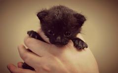 Handle Me With Care (Luv Duck - Thanks for 15M Views!) Tags: kitten feline meow sadkittyface babykitten thetravelingwilburys rescuedkitten millcat furballinneedofluv imgoingtobewolverinewhenigrowup