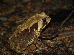 (dheymaal) Tags: toad sinharaja nollerts bufonoellerti