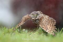 Rain Dance (Megan Lorenz) Tags: travel wild bird nature wet rain florida wildlife owl getty avian birdofprey raindance soaked wildanimals burrowingowl mlorenz meganlorenz dailynaturetnc13