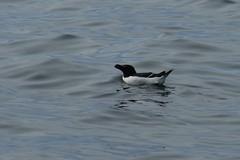 Razorbill (polletjes) Tags: blue sea bird water birds blauw vogels zee alk razorbill runde watervogel zeealk