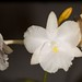 Broughtonia sanguinea – Alex Nadzan