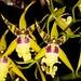 Alcra. Pacific Nova 'Butter Buds' – Alex Nadzan