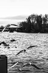 Brotkrumengierige Luftpiraten (S. Ruehlow) Tags: water river wasser frankfurt main kai vögel fluss möwe altstadt möwen frankfurtammain ffm rivermain mainkai bootsanlagestelle