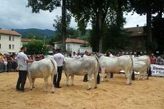 Autrefois le Couserans (Saint-Girons/Arige) (PierreG_09) Tags: tradition fte manifestation vache pyrnes pirineos taureau arige gascon couserans gasconne racegasconne autrefoislecouserans