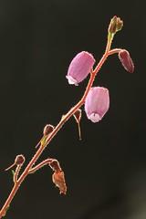 Glockenheide (Daboecia cantabrica) (Wo Mue Ov) Tags: blte gegenlicht knospe behaarung drsenhaare