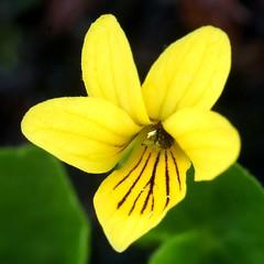 Viola biflora (imanh) Tags: flower violet viola bloem iman biflora viooltje heijboer imanh twoflower tweebloemig