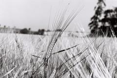 County Meath in Summer (Frank Milling) Tags: county gate fuji pentax farm wheat harvest crop program crops bales acros meath tillage a
