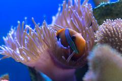 Daydream Island - Clown Fish (Gudrapalli) Tags: fish canon eos clown australia australien 600d