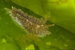 Aeolidia filomenae