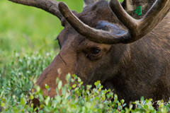 Close up of a moose bull grazing