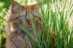 37/52 Pets and Animals :Pumpkin (melbaczuk) Tags: pet cat canon explore kelowna canon7d week37theme 52weeksthe2014edition week372014 weekstartingwednesdayseptember102014petsanimalscat