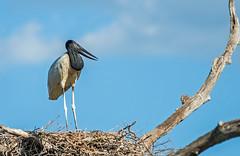 jabiru on nest in the pantanal - brazil (Russell Scott Images) Tags: brazil pantanal birds jabirumycteria southamerica russellscottimages