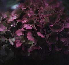 Ortensie (magioca65) Tags: flowers 6x6 zeiss voigtlander skopar brillant kodakportra160 epsonv600 macrolensproxar