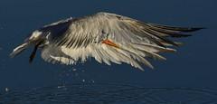Elegant Tern, State Park Marina, Morro Bay, CA (aviac) Tags: california white bird feeding gull morrobay tern bif sanluisobispocounty birdinflight eleganttern morrobaystatepark baysidemarina thalasseuselegans thalasseus stateparkmarina