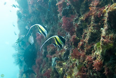 DSC_7841.jpg (d3_plus) Tags: sea sky fish beach coral japan scenery diving snorkeling  shizuoka   j1  izu seaanemone  moorishidol softcoral    skindiving  minamiizu        nikon1 hirizo    nakagi  nikon1j1 1nikkor185mmf18  beachhirizo commoncoral misakafishingport