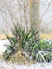 January Green (Universal Pops (David)) Tags: wood winter plants white snow green texture nature leaves landscape virginia bright vegetation snowfall utilitypole charlottecourthouse charlottecounty