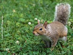 Squirrel (Ignacio Ferre) Tags: usa ny newyork squirrel centralpark ardilla nuevayork