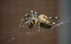 Across the web (dangerousdavecarper) Tags: uk garden spider cross wildlife web orb