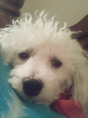 Benjy's First Doggy Selfie (Peachhead (4,000,000 views!)) Tags: family dog chien pet white cute cane hond perro hund curly poodle spoiled benjy caniche miniaturepoodle