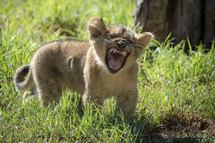 140912_164 (orca_bc) Tags: cats cub lion cubs lioness lioncub lioncubs panthera pantheraleo felidae pantheratigristigris