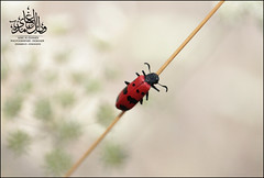 خنفساء (Wael Al-Ghamdi) Tags: macro canon bug 5d markii تصوير حشرة تصويري ماكرو حشرات خنفساء