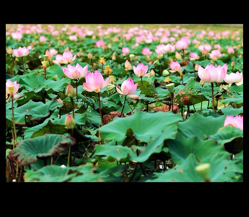 Lotus field in Cambodia