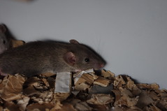 P besk hos Verras (liftarn) Tags: pet rat rats verras
