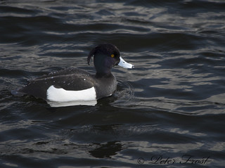 Tufted Duck PS