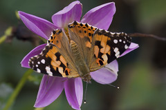 Painted lady (sergtrav) Tags: paintedlady butterfly репейница flower