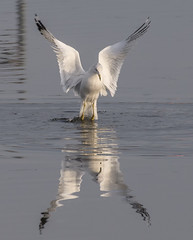 Gull (Jan Crites) Tags: iowa leclaire nature river mississippiriver lockanddam14 gull reflection fishing jancritesphotography february